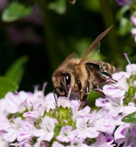 Honig Biene